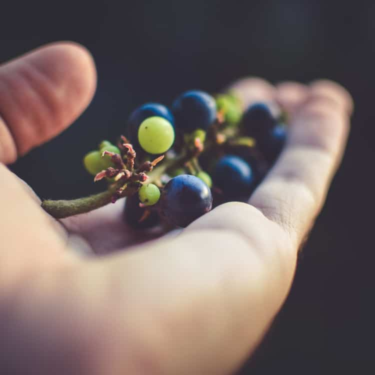 image of harvested grapes